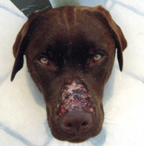 berenklauw-verwonding-hond
